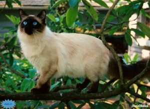 عکس گربهٔ بالیایی
