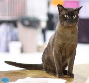 عکس گربهٔ بورمس
