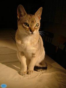 عکس گربهٔ سنگاپوری
