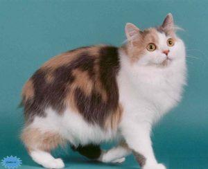 عکس گربهٔ مانکس