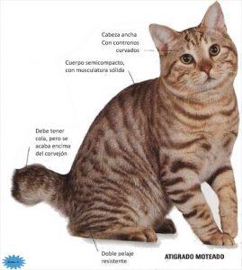 عکس گربه آمریکایی بابتیل