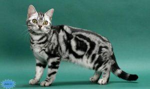 عکس گربه آمریکایی موکوتاه