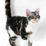 عکس گربه آمریکایی وایرهیر
