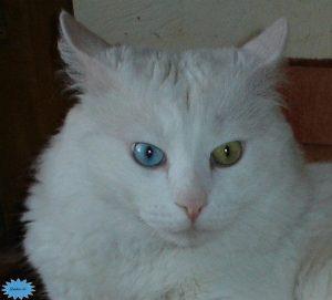 عکس گربه آنقره