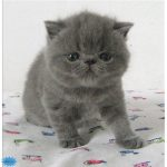 عکس گربه اگزاتیک موکوتاه