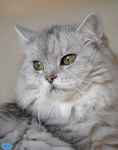 عکس گربه ایرانی
