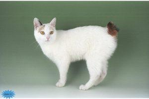 عکس گربه بابتیل ژاپنی
