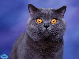 عکس گربه بریتانیایی موکوتاه