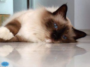 عکس گربه بیرمان