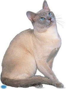 عکس گربه تانکینز