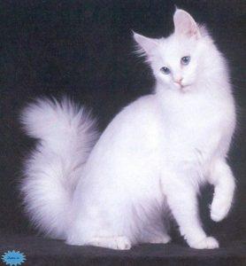 عکس گربه ترک وان