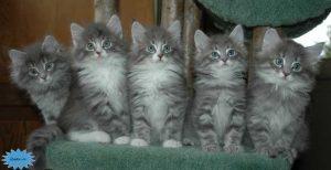 عکس گربه جنگلی نروژ