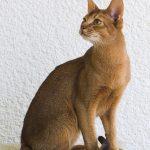 عکس گربه حبشی
