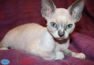 عکس گربه دوون رکس