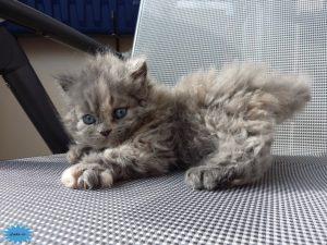 عکس گربه سلکیرک رکس