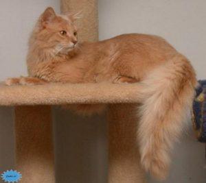 عکس گربه سومالی