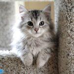 عکس گربه سیبری