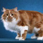 عکس گربه سیمریک