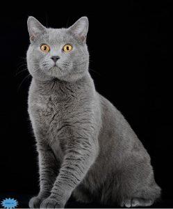 عکس گربه شارترو