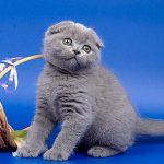عکس گربه فولد اسکاتلندی