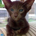 عکس گربه قهوهای هاوانا