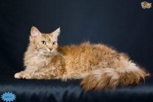 عکس گربه لاپرم