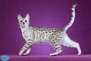 عکس گربه مصری ماو