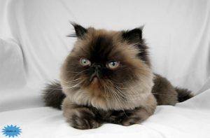 عکس گربه هیمالیا