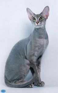 عکس گربه پیتربالد