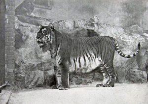 ببر ایرانی