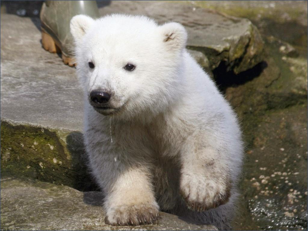 بچه خرس