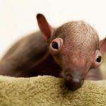 بچه مورچه خوار