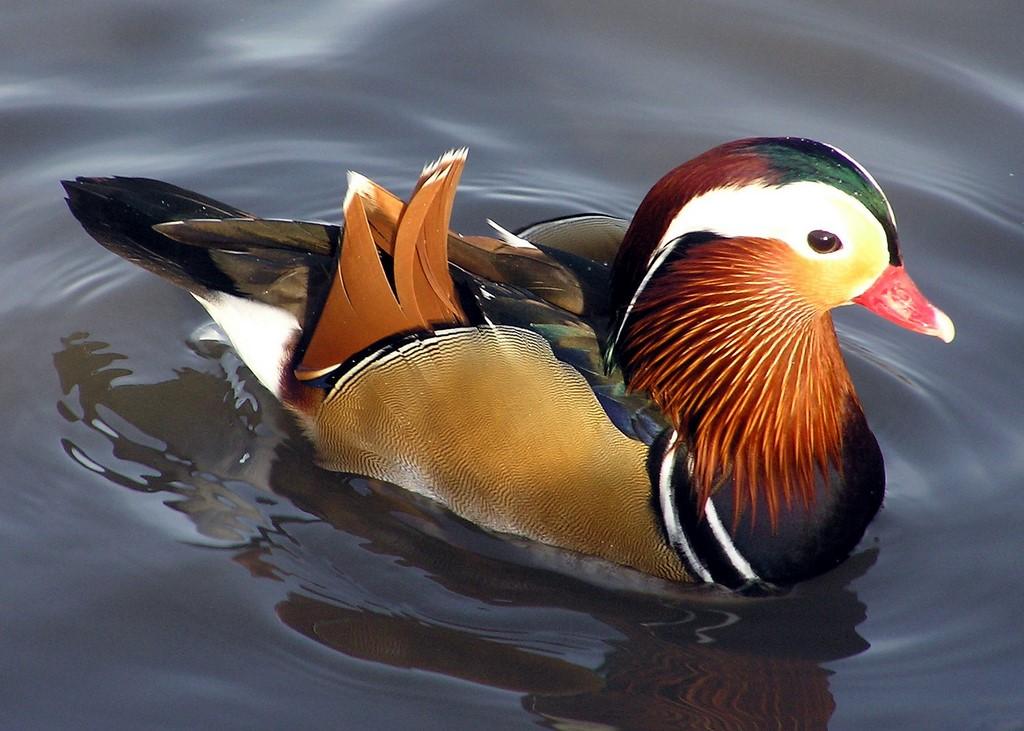 تصاویر اردک