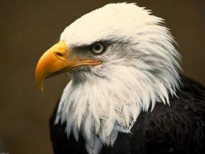 تصاویر عقاب