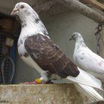تصاویر کبوتر
