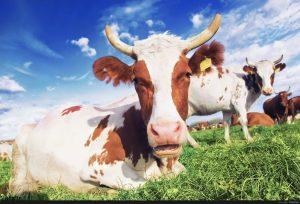 تصاویر گاو