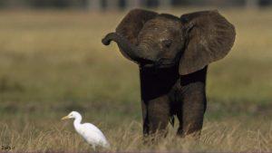 تصویر بچه فیل
