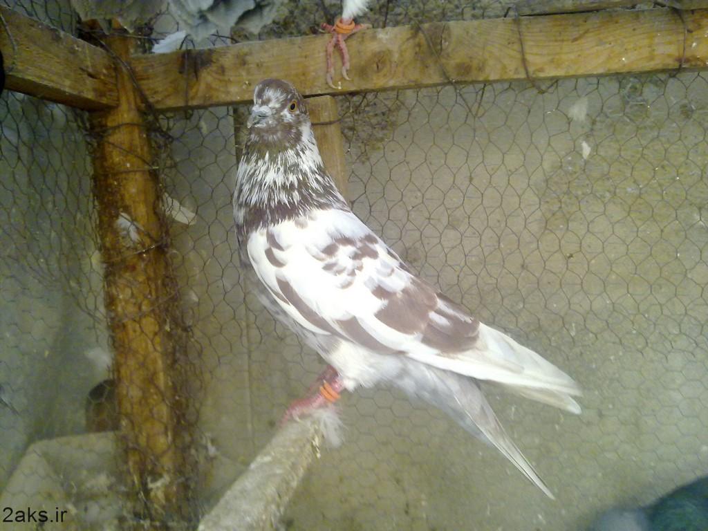 تصویر کبوتر