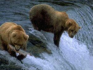 خرس اچ دی