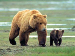 خرس با کیفیت بالا