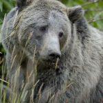خرس خاکستری