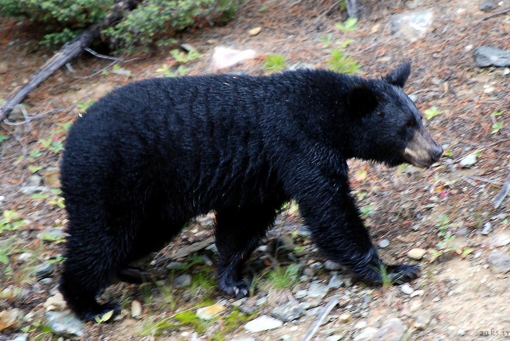 خرس سیاه آمریکایی