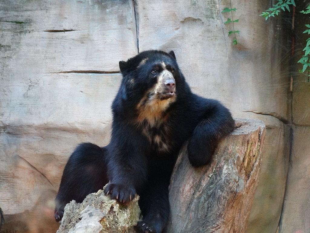 خرس عینکی