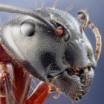 سر مورچه