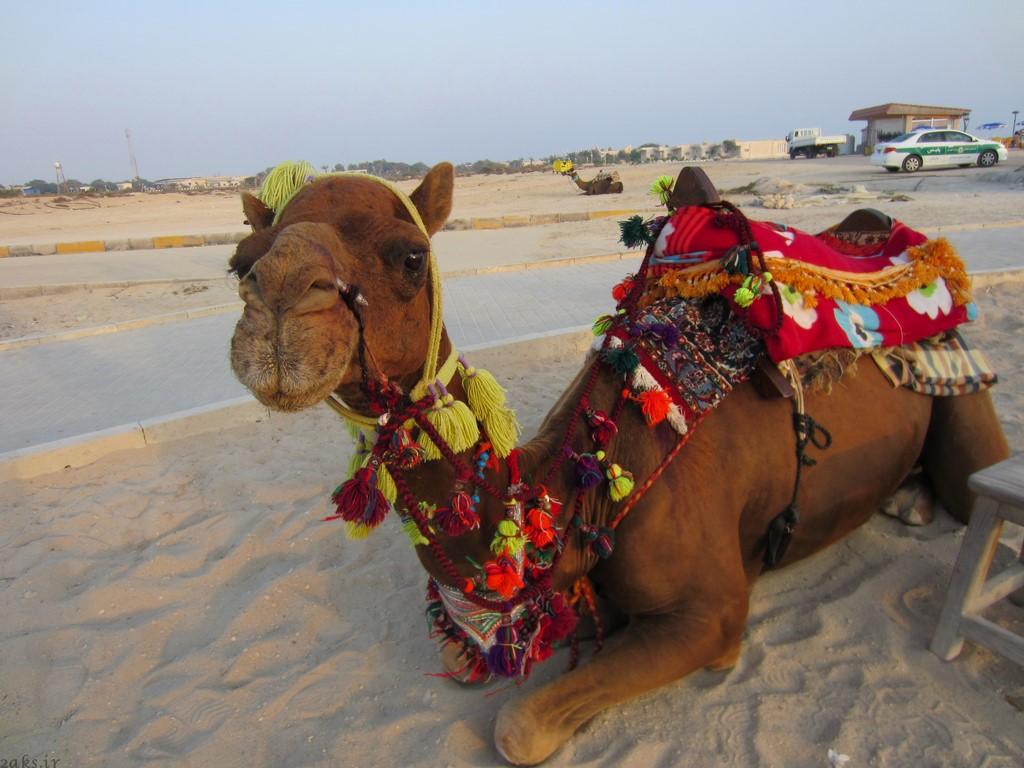 شتر سواری