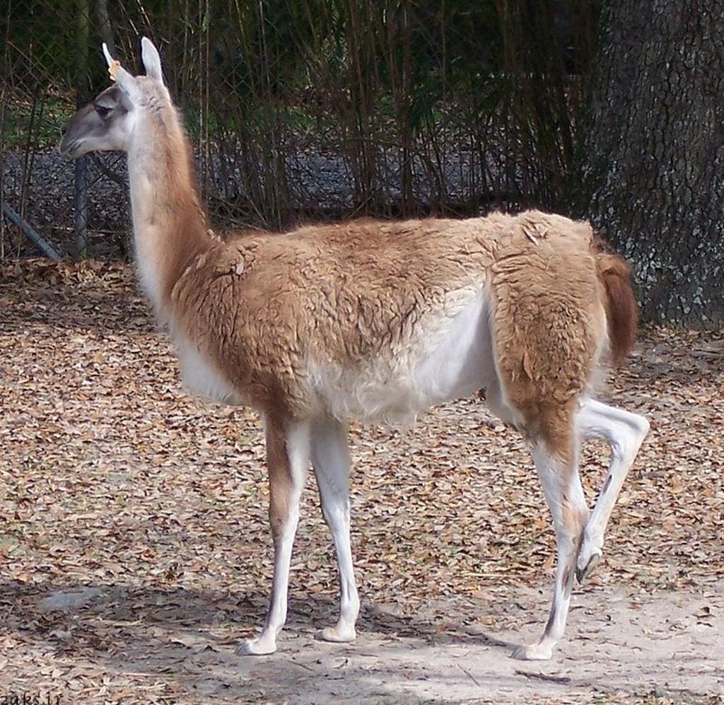 شتر گواناکو
