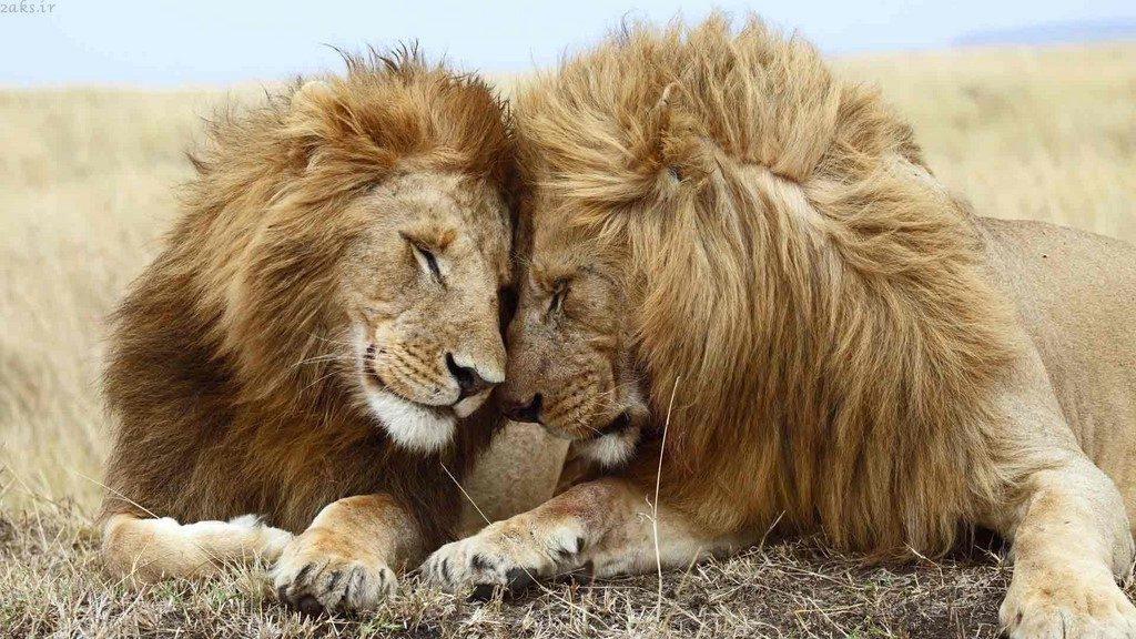 شیر جنگل