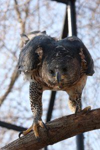 عقاب تاجدار