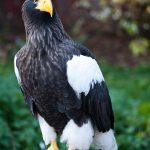عقاب دریایی استلر