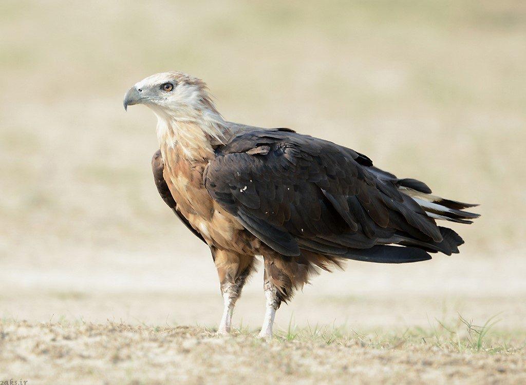 عقاب دریایی پالاس